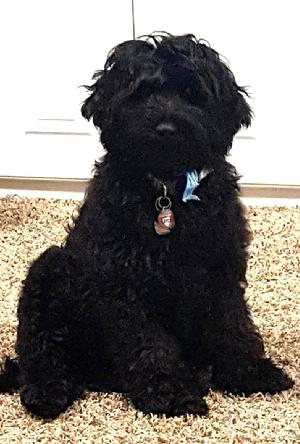 Black Mini Goldendoodle
